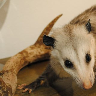 Taxidermy - Opossum, 2011